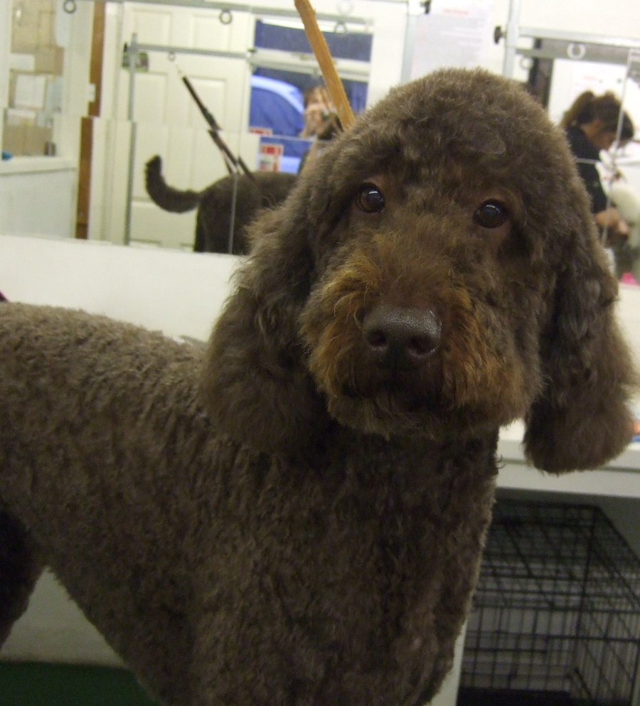 Cockerpoo Dog Grooming