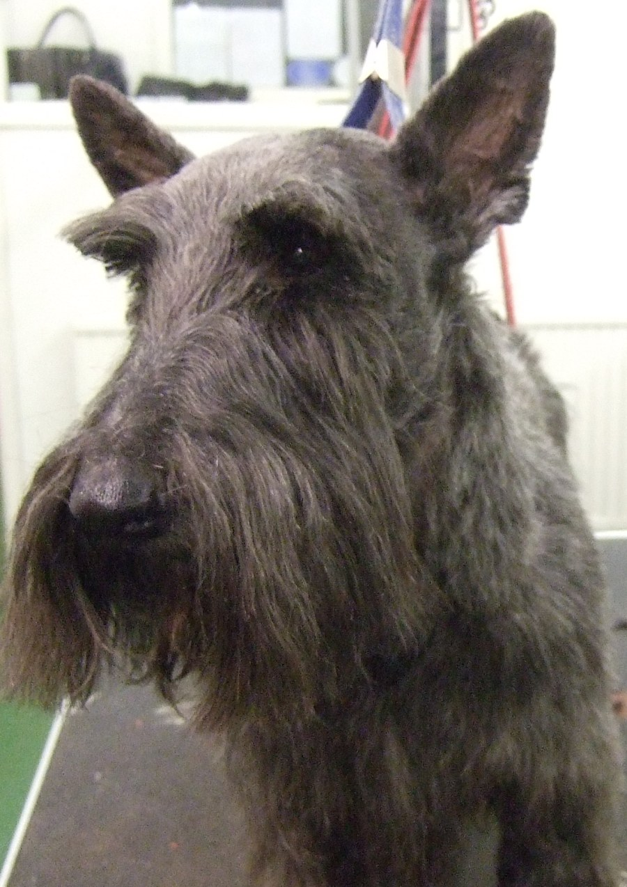 Scottie Dog Grooming