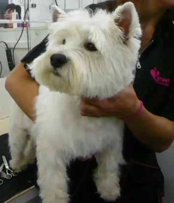 West Highland White Dog Grooming